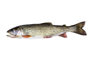 Wild Cutthroat Trout on White