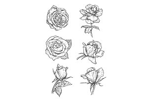 Rose buds vector sketches