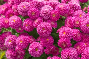Chrysanthemum pink flowers