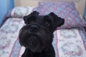 schnauzer dog on the bed