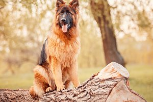German Shepherd Sitting on Tree
