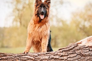German Shepherd Standing