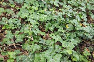 Ivy Hedera plant