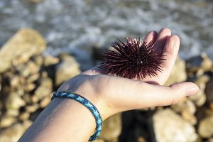 Sea urchin in the hands