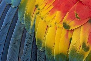 Ara macao feathers