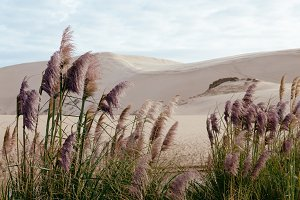 Sand Dunes and Pampas Grass