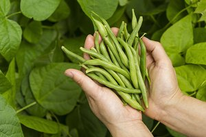 Hand Picking Green Beans