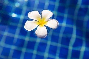 Tropical flower plumeria frangipani swimming pool
