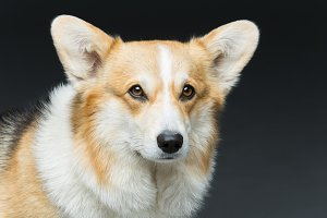 Beautiful welsh corgi dog