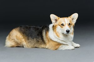 Beautiful welsh corgi dog