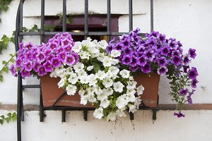 Window with potted petunias