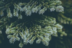 Fir Branches (Christmas Background)