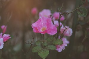 Pink Flowers 04