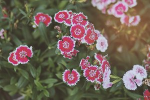 Pink Flowers 01