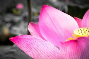 Pink lotus is blooming