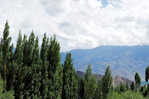 Green trees over mountain background in Leh, Ladakh, India