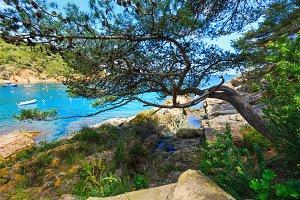 Pine tree above sea