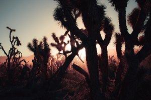 Dark Joshua Trees at Sunset