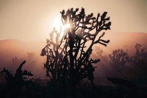 Joshua Trees at Sunrise