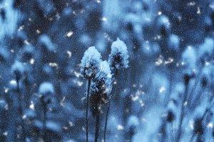Teasel plants in snowfall