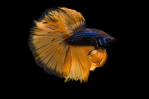Siamese betta fish