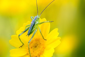 small grasshoppers on yellow flower