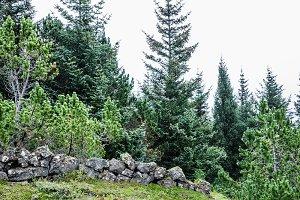 Coniferous icelandic trees