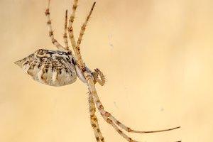 """argiope lobata """" tiger spider """""""
