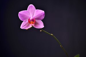 Pink orchid on a black background. Studio photography.