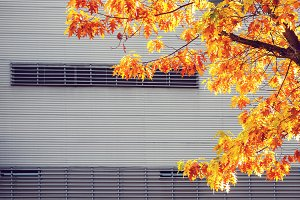 Maple tree against urban wall