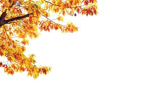 Yellow maple tree isolated on white