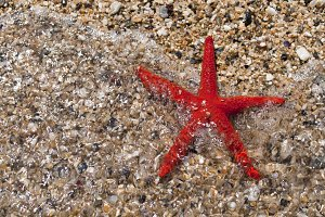 Red Seastar On Beach