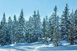 Winter mountain fir forest