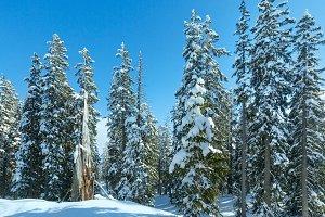 Winter mountain fir forest