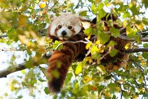 Red Panda Treed