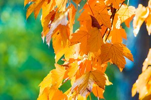 autumn maple tree twig