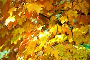 autumn maple tree twig