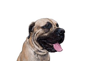 English mastiff dog sitting on white