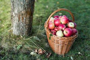 Basket full of apples