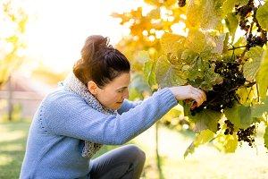 Woman farmer picking grapes