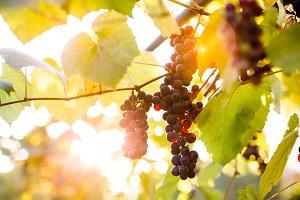 Purple grape cluster