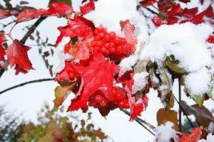 First snow on viburnum