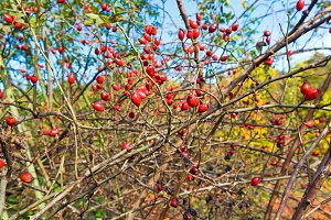 Bush with red hips