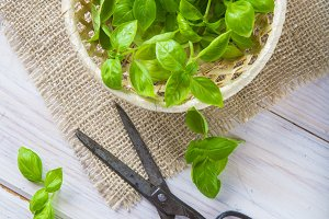 Fresh basil leaves in a basket