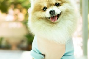 Dog pomeranian smiling