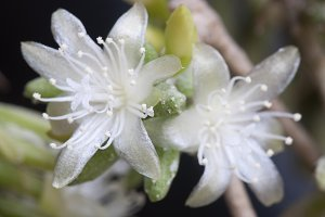 Flowering cactus Rhipsalis