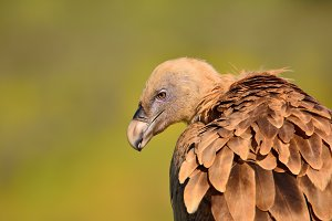 Griffon vulture.
