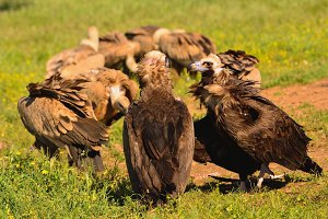 Two cinereous vulture.