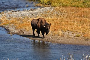 The bison in Yellowstone park