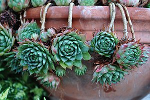 succulent in a terracotta pot